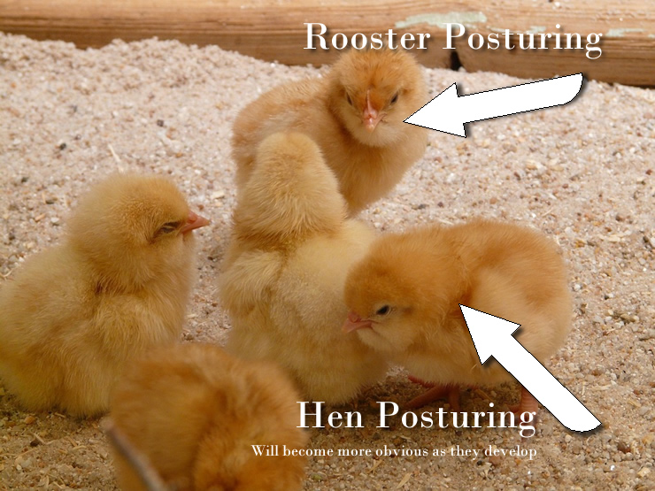 hen vs rooster chicks