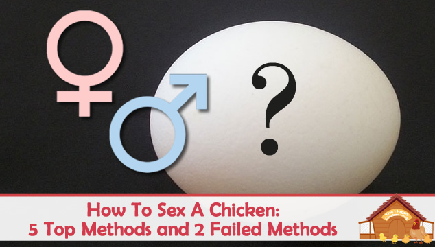 How to Sex Chickens: 5 Methods To Determine Hen Or Rooster