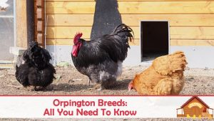 Orpington All You Need To Know: Personality and Egg Color