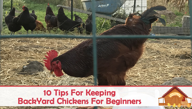 10 tips for keeping backyard chickens