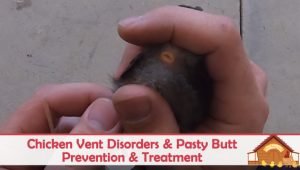 Chicken Vent Disorders And Pasty Butt Treatment