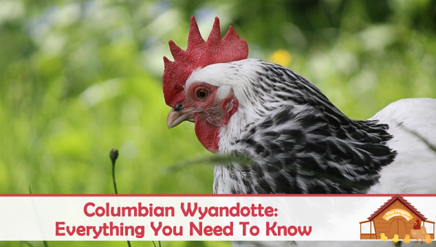 columbian wyandotte everything you need to know