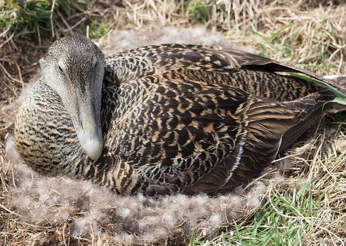 duck nesting