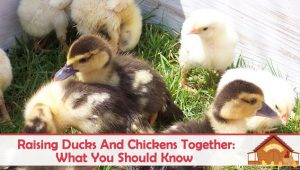 What You Should Know About Raising Chickens And Ducks Together
