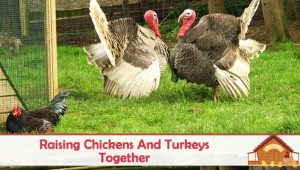 Raising Turkeys and Chickens Together – Can You and Should You?