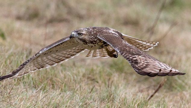 red tailed hawk chicken predator