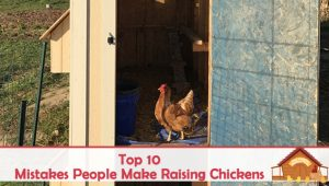 Top 10 Mistakes People Make Raising Chickens
