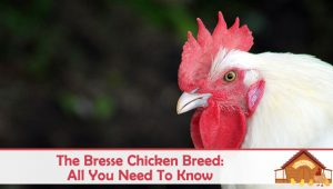 All You Need To Know About The Bresse Chicken