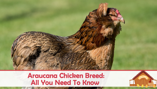 araucana chicken featured image