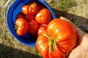 farm garden tomatoes