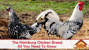 The Hamburg Chicken Breed Profile – All You Need To Know