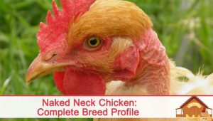 The Naked Neck Chicken Breed Profile