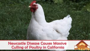 Newcastle Disease Causes Massive Culling of Poultry in California