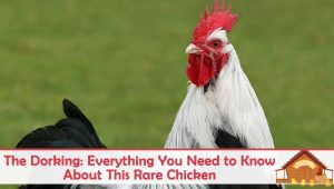 The Dorking: Everything You Need to Know About This Rare Chicken