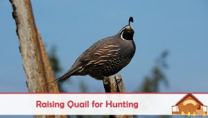 Raising Quail For Hunting And Sport
