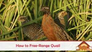 How to Free-Range Quail