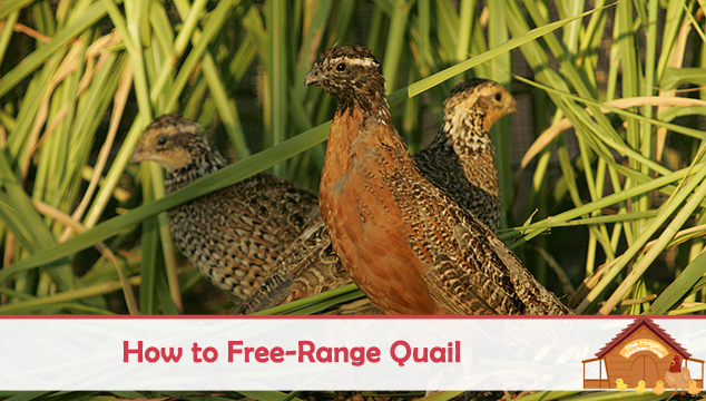 how to free range quail