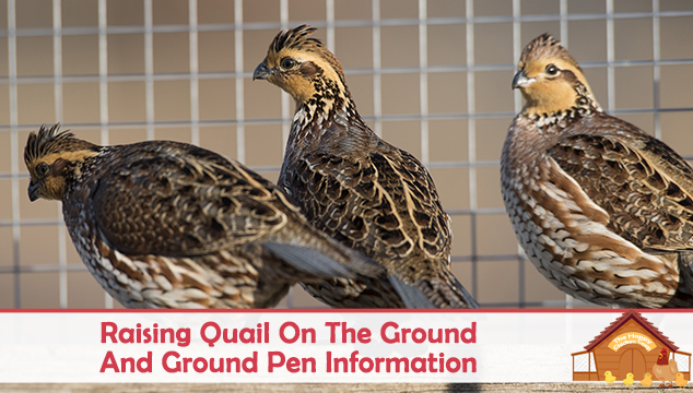 Raising Quail On The Ground And Ground Pen Information