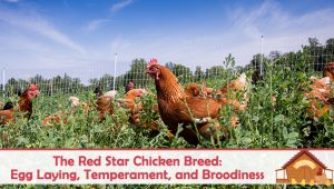 The Red Star Chicken: Egg Laying, Temperament, and Broodiness