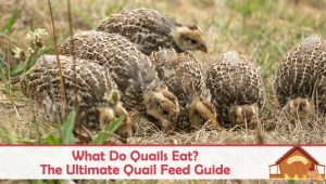 What Do Quails Eat? The Ultimate Quail Feed Guide