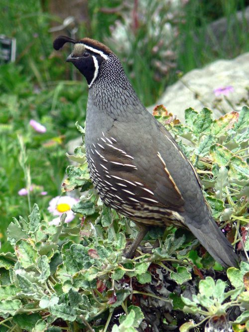 what is quail natural diet