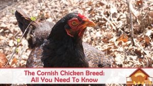 The Cornish Chicken Breed Profile – All You Need To Know