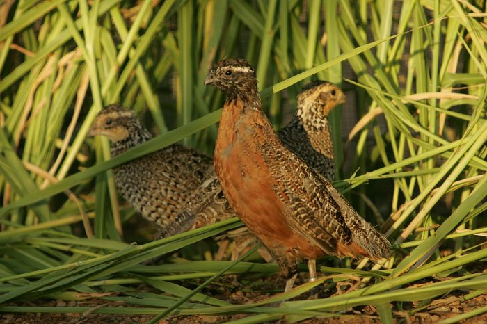bob white quail breed
