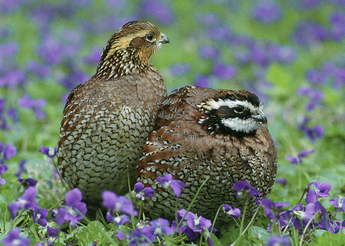 quail rooster hen