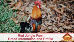 The Red Jungle Fowl Breed Profile – Egg Laying, Temperament, Broodiness