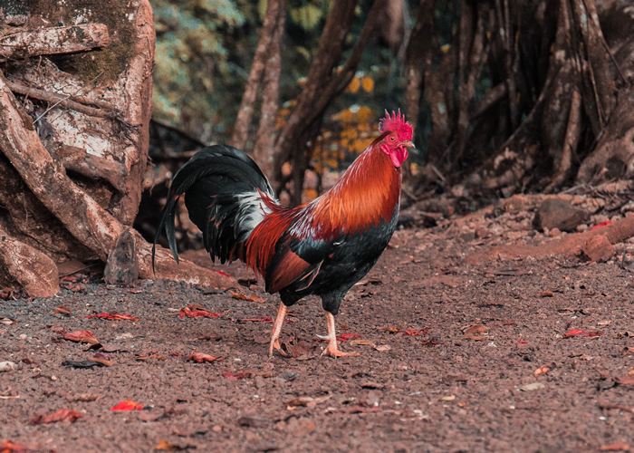 The Red Jungle Fowl Breed Profile Egg Laying Temperament