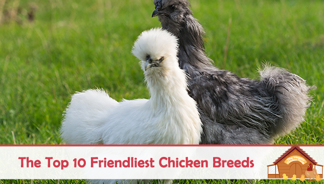 The Top 10 Friendliest Chicken Breeds