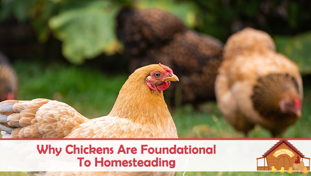 Why Chickens are Foundational To Homesteading