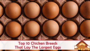Top 10 Chicken Breeds That Lay The Largest Eggs
