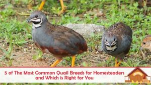 5 of The Most Common Quail Breeds for Homesteaders and Which is Right for You