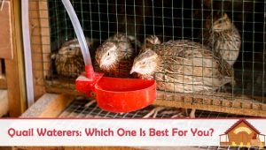 Quail Waterers: Which One Is Best For You?