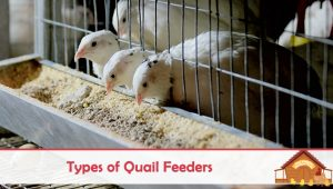 Types of Quail Feeders