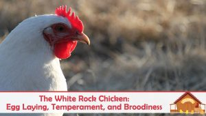 The White Rock Chicken: Egg Laying, Temperament, and Broodiness