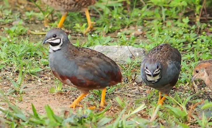 types of breed of quail for homesteading