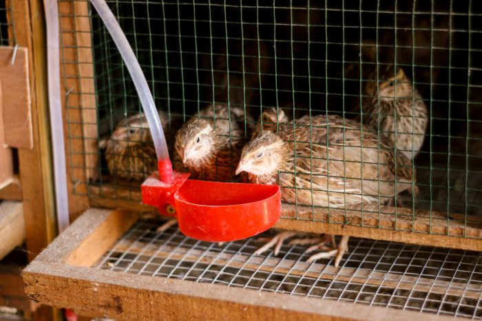 quail waterers
