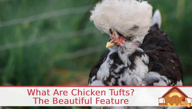 What Are Chicken Tufts?