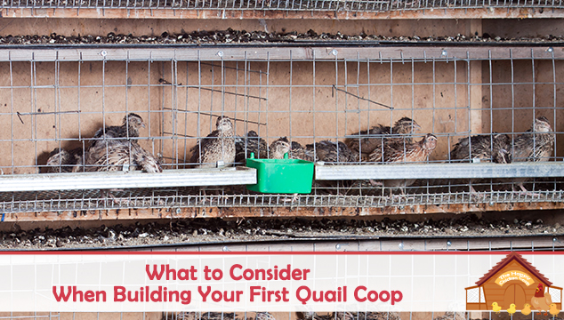 What to Consider When Building Your First Quail Coop
