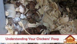 Understanding Your Chickens' Poop