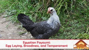 Egyptian Fayoumi: Egg Laying, Broodiness, and Temperament