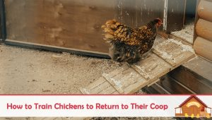How to Train Chickens to Return to Their Coop