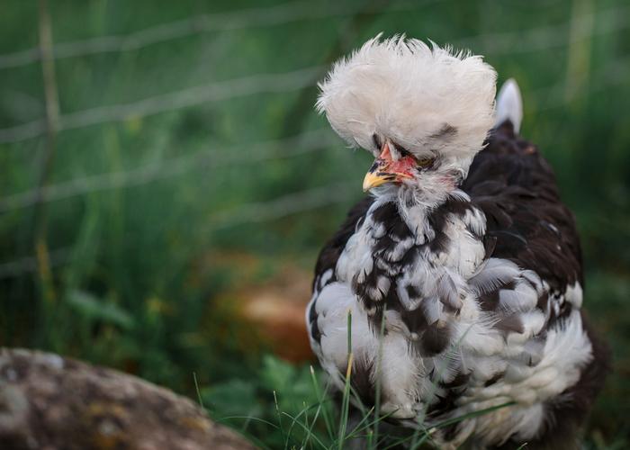 chicken tufts