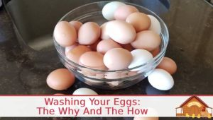 Washing Eggs – The Why And How