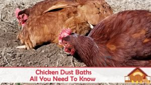 All About Chicken Dust Baths