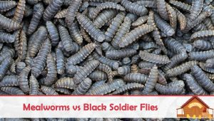 Mealworms vs Black Soldier Fly Larva