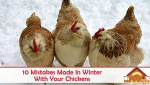 10 Mistakes Made In Winter With Your Chickens
