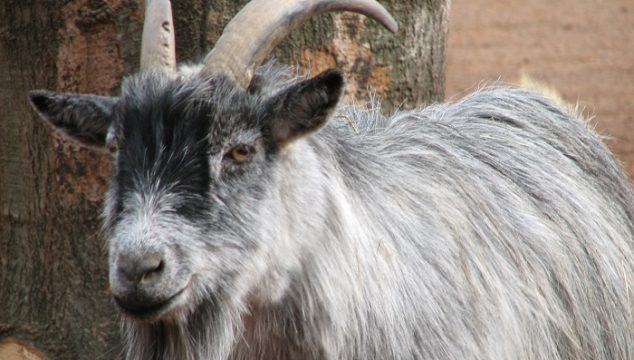 Smallest Goat Breed